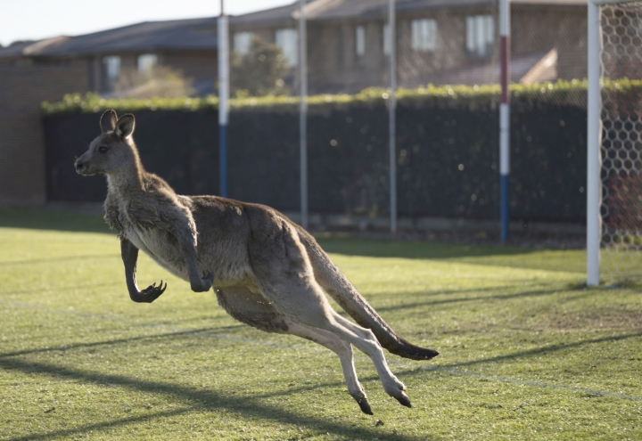In this June 24, 2018, photo, a kangaroo interrupts the Women's Premier League between Belconnen United and Canberra FC match in Canberra for over 30 minutes. (Lawrence Atkin/Capital Football via AP)