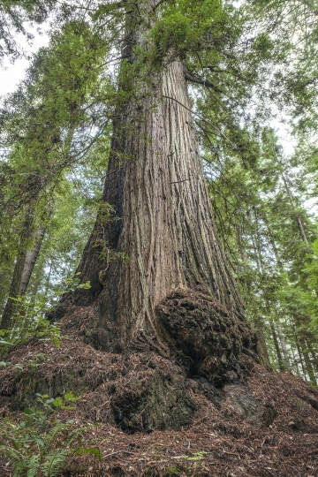 The McApin Tree, shown in this March 28, 2018, photo provided by Save the Redwoods League, standing in the Harold Richardson Redwoods Reserve near Stewart's Point, Calif., is 1,640 years old. The grove in Northern California with hundreds of ancient redwood trees, some taller than the Statue of Liberty, is being acquired by environmental group Save the Redwoods League that plans to preserve it and open a new public park, the group announced Tuesday, June 26, 2018. (Mike Shoys/Save the Redwoods League via AP)
