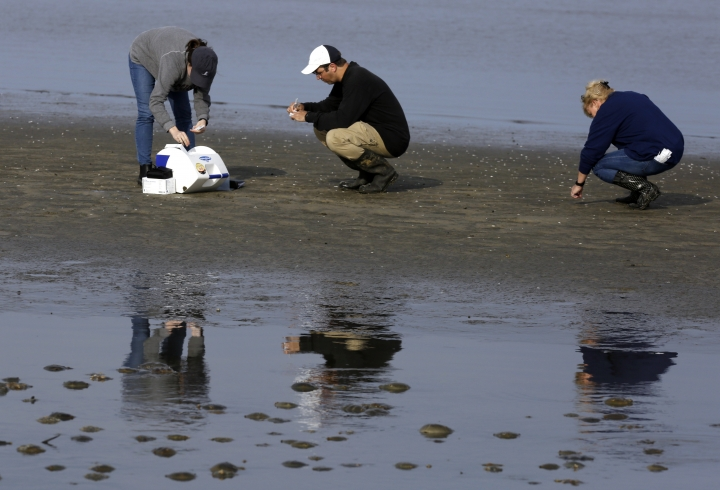 In this May 22, 2018 photo, left to right, Karlie Woodard, Patrick Seiler, and Pamela McKenzie, of St. Jude Children's Research Hospital collect bird droppings near horseshoe crabs at Kimbles Beach, Middle Township NJ. Each spring, shorebirds migrating from South America to the Arctic stop on the sands of Delaware Bay to feast on masses of horseshoe crab eggs. It's a marvel of ecology. It's also one of the world's hot-spots for bird flu and a bonanza for scientists seeking clues to how influenza evolves so they just might better protect people. (AP Photo/Jacqueline Larma)