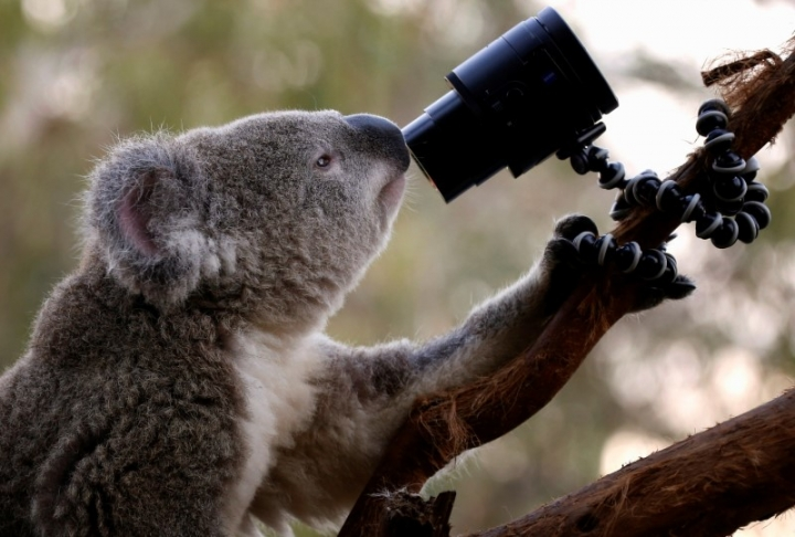 FILE PHOTO: An Australian Koala looks at a camera as it sits atop a branch in its enclosure at Wild Life Sydney Zoo April 3, 2014.  REUTERS/David Gray/File Photo