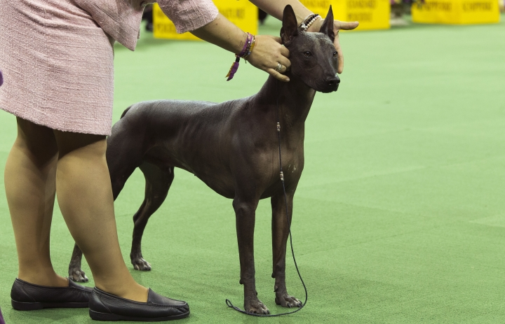 FILE - In this Feb. 15, 2016, file photo, a xoloitzcuintli is shown in the ring during the non-sporting group competition at the140th Westminster Kennel Club dog show, at Madison Square Garden in New York. A new study published Thursday, July 5, 2018, in the journal Science provides fresh evidence that the first dogs of North America all but disappeared after the arrival of Europeans and left little to no trace in modern American dogs. (AP Photo/Mary Altaffer, File)