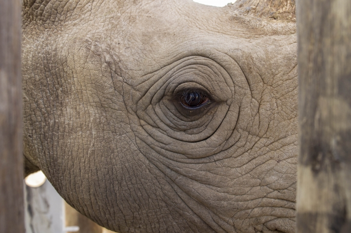 In this photo taken Wednesday May 3, 2018, a rhino is prepared in the Addo Elephant Park, near Port Elizabeth, South Africa, to be transported to Zakouma National Park in Chad. The wildlife conservation group African Parks' successes include big inroads against poaching in the Park in Chad and the restocking threatened species in the country. (AP Photo/Michael Sheehan)