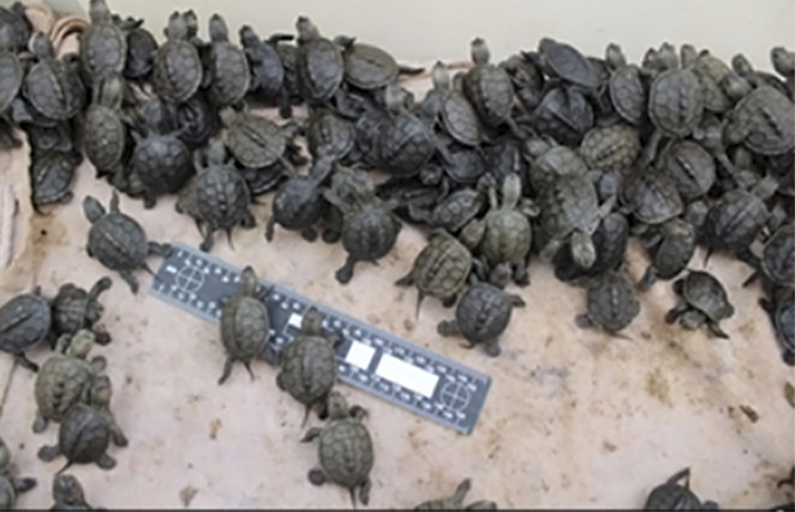 This Oct. 25, 2017, photo provided by the U.S. Fish and Wildlife Service shows diamondback terrapin hatchlings in the agency's custody after they were seized, before the hatchlings were released into the protected turtles' native habitat at locations in New Jersey. David Sommers, of Levittown, Pa., was indicted Tuesday, July 10, 2018, on charges of trafficking more than 3,500 protected turtles, the U.S. Attorney's Office for the Eastern District of Pennsylvania announced, after authorities say U.S. Fish and Wildlife Service agents seized diamondback terrapin hatchlings from Sommers' home in October 2017 they say he poached from New Jersey coastal marshes. (U.S. Fish and Wildlife Service via AP)