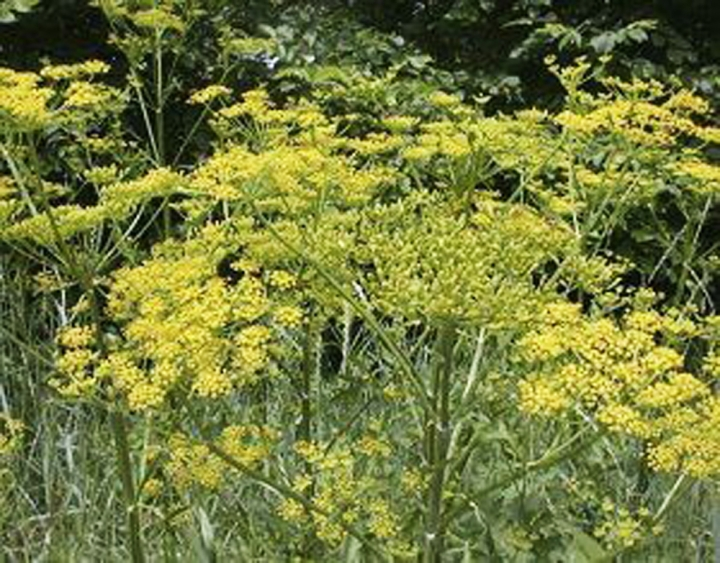 This July 2018, photo provided by Charlotte Murphy shows poison parsnip in Bennington, Vt. Murphy was left with severe burns and blisters on her legs after encountering the invasive species of plant in Vermont. (Charlotte Murphy via AP)