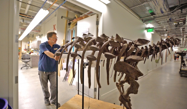 In this undated photo, exhibits preparator Bill Thomas moves the skeleton of an ankylosaur, a squat plant-eater that was covered in bony armor from its spiky head to its clubbed tail, before its unveiling at the Natural History Museum of Utah in Salt Lake City. The ankylosaur, Latin name Akainacephalus johnsoni, roamed southern Utah on four legs about 76 million years ago, during the late Cretaceous Period. (Natural History Museum of Utah via AP)