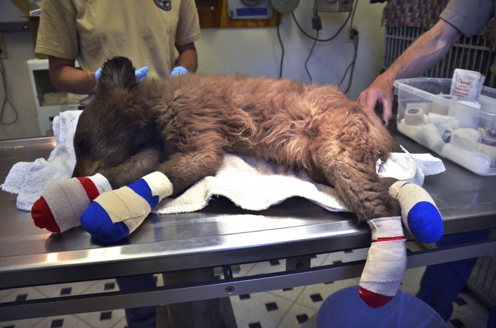 FILE - In this June 27, 2018 file photo provided by Colorado Parks and Wildlife, a female bear cub lies on a table with bandages on her burned paws in Del Norte, Colo. The cub was rescued from a wildfire north of Durango, Colo., after being spotted by firefighters. Officials said Friday, July 20, 2018, that the cub is healing and began tearing off her bandages once she started feeling better. (Joe Lewandowski/ Colorado Parks and Wildlife via AP, File)