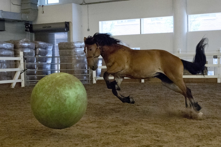 In this Tuesday, July 17, 2018 photo, New York City Police Department mounted unit horse Patriot, age 10, plays with a large rubber ball in the the exercise ring at the unit's headquarters, in New York. The NYPD's horses, which come mostly from Amish country in Pennsylvania, form what the department says is the country's oldest continuously active mounted unit. (AP Photo/Richard Drew)