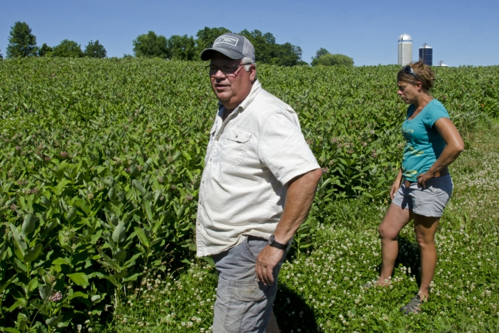 This June 22, 2018 photo shows Farmer Roger Rainville, left, and University of Vermont agricultural researcher Heather Darby as they examine a field of milkweed on Rainville's farm along the Canadian border, in Alburgh, Vt. Rainville ripped out 50 acres of alfalfa to plant a weed that farmers have long considered a nuisance. His motive: to help restore habitat for the monarch butterfly, which relies solely on milkweed for planting its eggs, and to serve a young market in Quebec for the plant's fibers as insulation in winter coats. (AP Photo/Cal Woodward)
