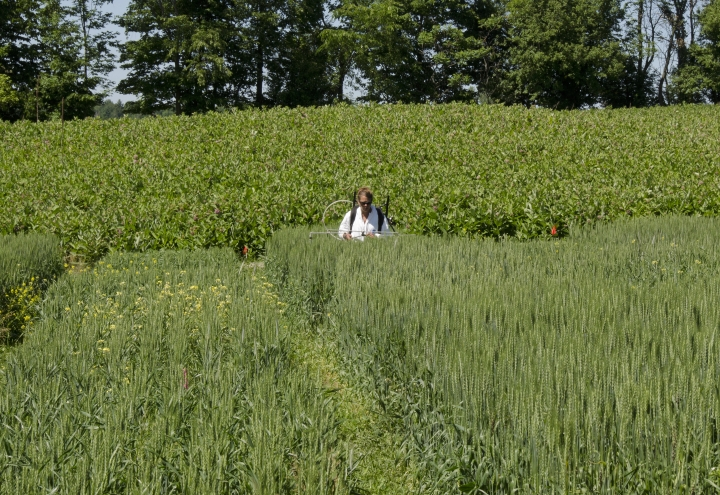 This June 22, 2018 photo shows University of Vermont agricultural researcher Heather Darby trying out biological controls on a wheat patch fronting a field of milkweed on Roger Rainville's farm along the Canadian border, in Alburgh, Vt. Rainville hosts university experiments on his farm and planted 50 acres of milkweed in an effort born in Quebec to help the monarch butterfly, which needs milkweed for survival, and to develop a new market for the plant's floss. (AP Photo/Cal Woodward)