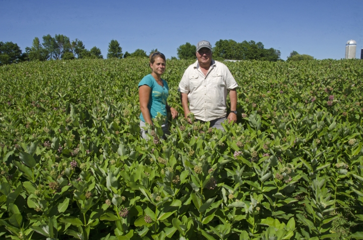 This June 22, 2018 photo shows University of Vermont agricultural researcher Heather Darby, left, and Vermont farmer Roger Rainville waist-deep in a field of milkweed, in Alburgh, Vt., on Rainville's farm along the Canadian border. They've joined in an initiative that started in Quebec to grow the longtime nuisance weed on farmlands to help save monarch butterflies, which need that weed to survive, and to develop a market for the milkweed's fibers in expensive winter coats and other products. (AP Photo/Cal Woodward)