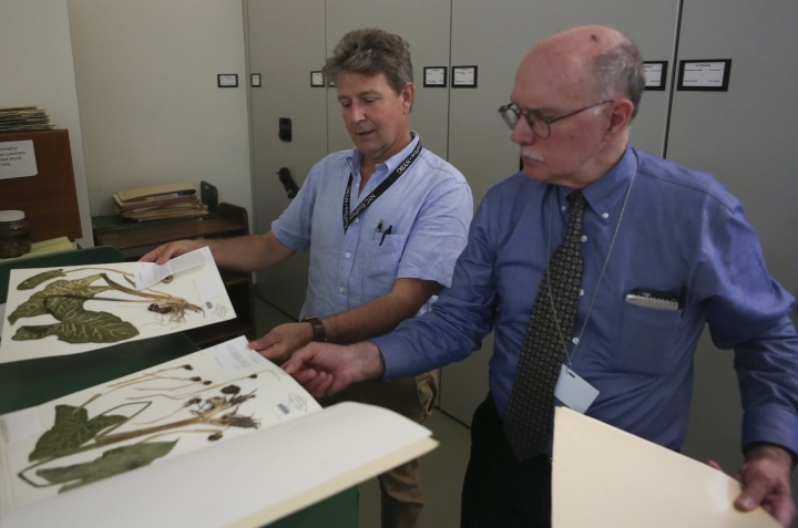 In this July 26, 2018 photo, Daniel Atha, left, and Brian Boom, right, look at two New York Botanical Garden specimens of a hardy plant called Italian arum in New York. The plant has the potential to take over and displace native species. Atha said new populations of this invasor were discovered in New York City with the help of citizen scientists. (AP Photo/Emiliano Rodriguez Mega)