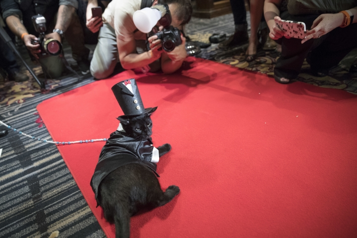 In this Thursday, Aug. 2, 2018 photo, photographers take photos of Merlin, dressed in a 1920s tail tuxedo and top hat on the red carpet during the cat fashion show at the Algonquin Hotel in New York. The event is a fundraiser for the Mayor's Alliance for NYC's Animals, which helps support more than 150 animal shelters and rescues in New York. (AP Photo/Mary Altaffer)