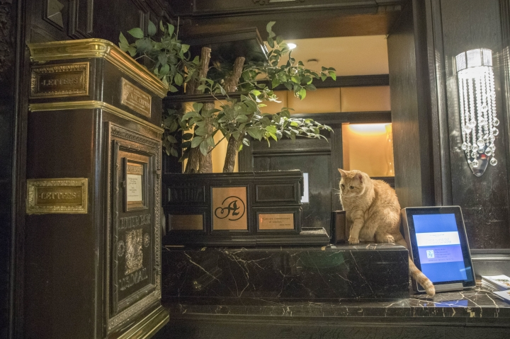 In this Thursday, Aug. 2, 2018 photo, Hamlet VIII sits on his perch at the front desk at the Algonquin Hotel in New York. The event is a fundraiser for the Mayor's Alliance for NYC's Animals, which helps support more than 150 animal shelters and rescues in New York. (AP Photo/Mary Altaffer)