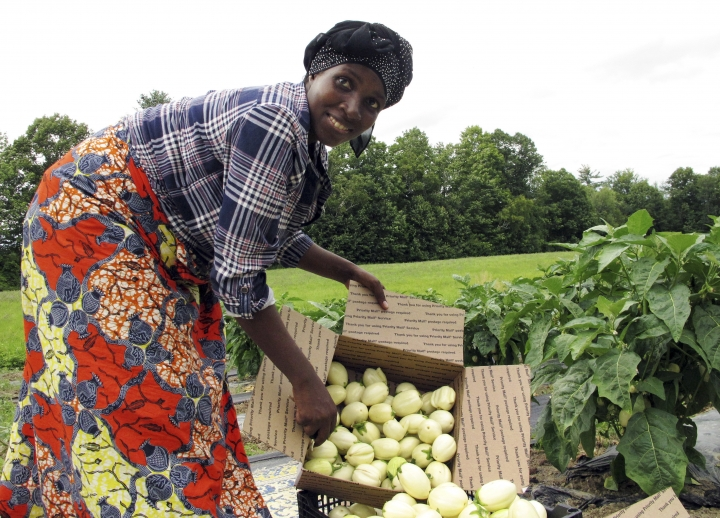 In this July 25, 2018 photo, Janine Ndagijimana displays African eggplant also called bitter ball or garden egg, harvested from her field in Colchester, Vt. Far from the refugee camps where she once lived, Ndagijimana has developed a thriving small farm business, growing African eggplants in Vermont and selling them around the country. (AP Photo/Lisa Rathke)