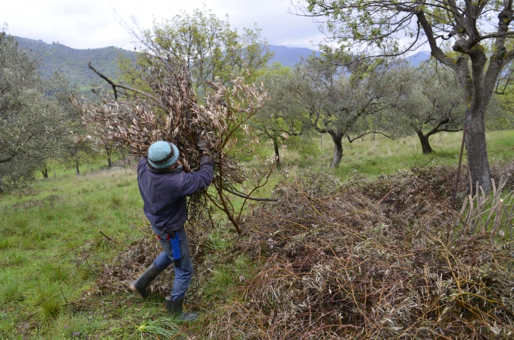 This March 26, 2018 photo shows writer Cain Burdeau stacking cuttings from olive trees he's pruned and will use the branches and twigs to make a garden wattle fence he's making on a property he lives on with his family in Contrada Petraro in the mountains of northern Sicily. In northern Sicily, fences are essential to protect gardens against wild pigs. (Audrey Rodeman via AP)