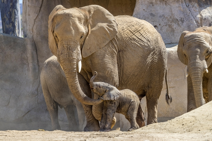 This Monday, Aug. 13, 2018 photo provided by the San Diego Zoo Safari Park shows Umzula-zuli, a healthy male African elephant calf, taking its first tentative steps in the elephant enclosure under the watchful eye of its mother, Ndula, at the park in Escondido, Calif. Zookeeper Mindy Albright says the other 12 elephants sniffed the new baby and trumpeted their welcome. The elephant was born Sunday, Aug. 12, which happened to be World Elephant Day. (Ken Bohn/San Diego Zoo Safari Park via AP)