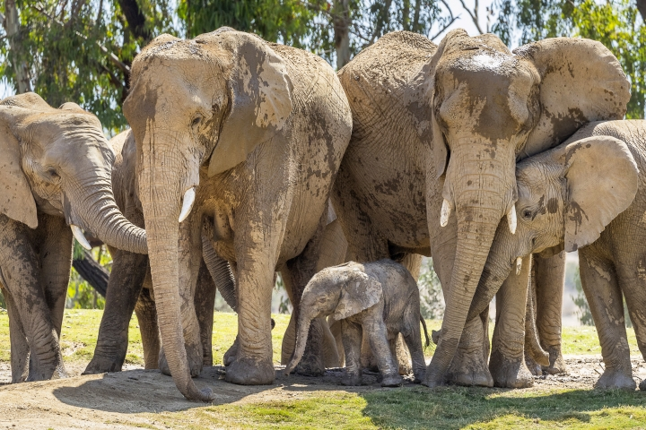This Monday, Aug. 13, 2018 photo provided by San Diego Zoo Safari Park shows Umzula-zuli, a healthy male African elephant calf, taking its first tentative steps in the elephant enclosure under the watchful eye of its mother, Ndula, at the park in Escondido, Calif. Zookeeper Mindy Albright says the other 12 elephants sniffed the new baby and trumpeted their welcome. The elephant was born Sunday, Aug. 12, which happened to be World Elephant Day. (Ken Bohn/San Diego Zoo Safari Park via AP)