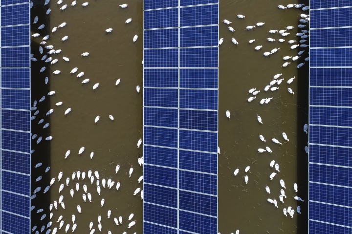 In this June 14, 2018, photo, ducks swim underneath the solar panels built on a duck farm in Binzhou in east China's Shandong province. China says it is challenging a U.S. tariff hike on solar panels before the World Trade Organization, adding to its sprawling conflicts with President Donald Trump over trade and technology. (Chinatopix via AP)