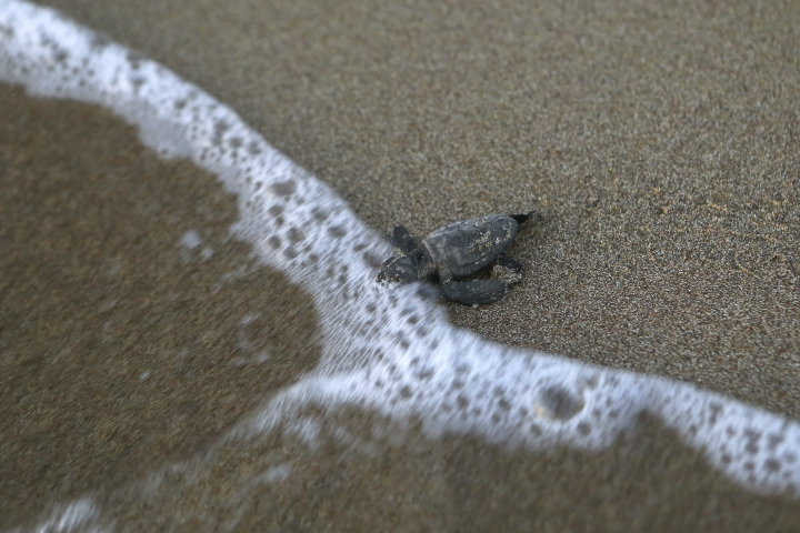 PHOTO GALLERY - In this photo taken on Thursday, Aug. 9, 2018, tiny sea turtle that just hatched reaches Mediterranean's surf on Cyprus' protected Lara beach. Cyprus' Green and Loggerhead turtles have made a strong comeback thanks to pioneering conservation efforts stretching back decades, after being hunted to near extinction in the first half of the last century. (AP Photo/Petros Karadjias)