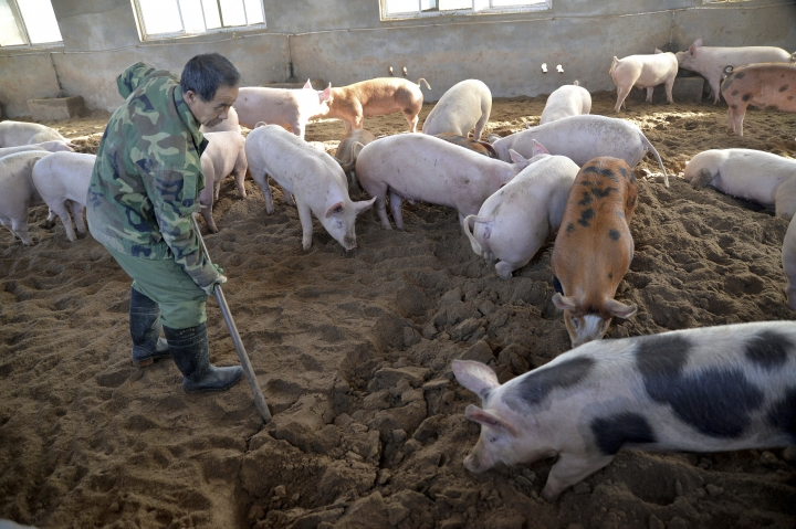 In this Dec. 19, 2014, photo, a worker digs in a fermentation bed at an organic pig farm in Handan in northern China's Hebei province. China, the world's largest producer of pork, is battling an African swine fever outbreak that could potentially devastate herds. Authorities say the disease, which is fatal only to pigs and wild boar, has been detected in multiple locations across the vast country. (Chinatopix via AP)