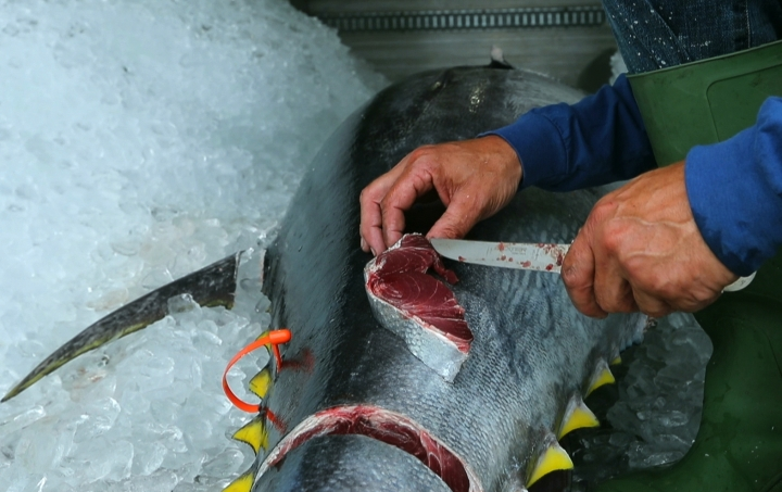 In this Saturday, Aug. 4, 2018 photo, a slice of tuna meat is examined for fat content by a dealer in South Portland, Maine. The tuna's status as a premium sushi and sashimi fish makes it particularly valuable in Japan, as a large bluefin can easily yield hundreds of meals. (AP Photo/Robert F. Bukaty)