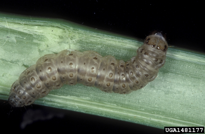 This undated image made available by Frank Peairs in 2007 shows a European corn borer. A warmer world likely means more and hungrier insects chomping on crops and less food on dinner plates, a new study suggests. (Frank Peairs/Colorado State University/Bugwood.org via AP)