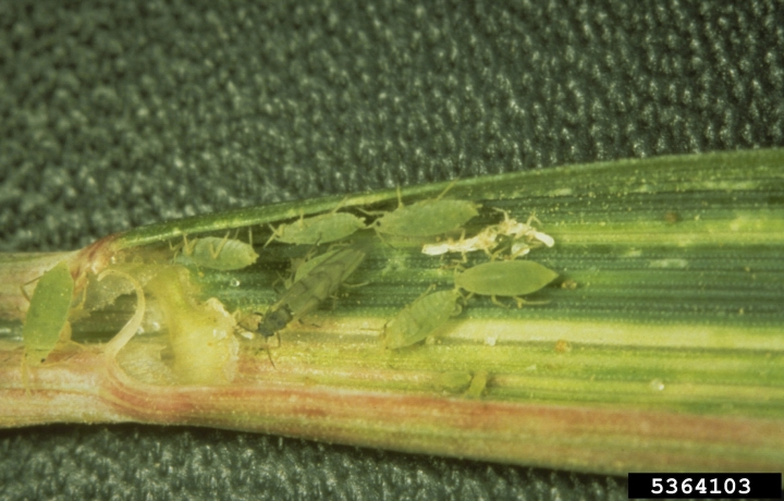 This undated image made available by Frank Peairs in 2008 shows a colony of Russian wheat aphids in a wheat leaf. A warmer world likely means more and hungrier insects chomping on crops and less food on dinner plates, a new study suggests. (Frank Peairs/Colorado State University/Bugwood.org via AP)