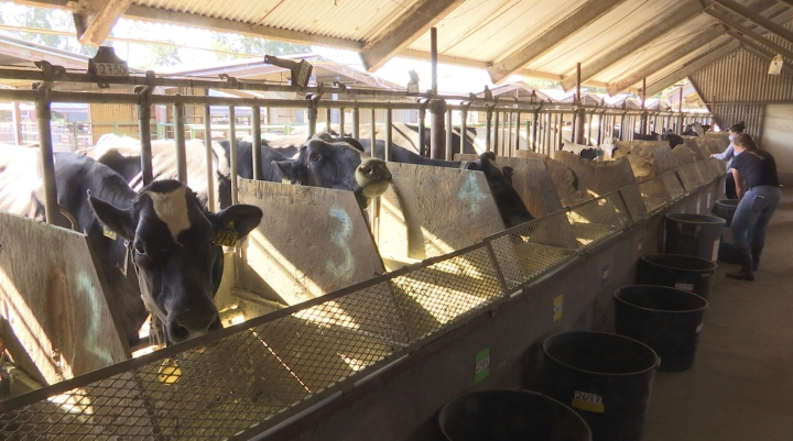 In this June 8, 2018 image taken from video, dairy cows eat feed mixed with seaweed in a dairy farm at the University of California, Davis, in Davis, Calif. UC Davis is studying whether adding small amounts of seaweed to cattle feed can help reduce their emissions of methane, a potent greenhouse gas that's released when cattle burp, pass gas or make manure. Dairy farms and other livestock operations are major sources of methane. (AP Photo/Terry Chea)