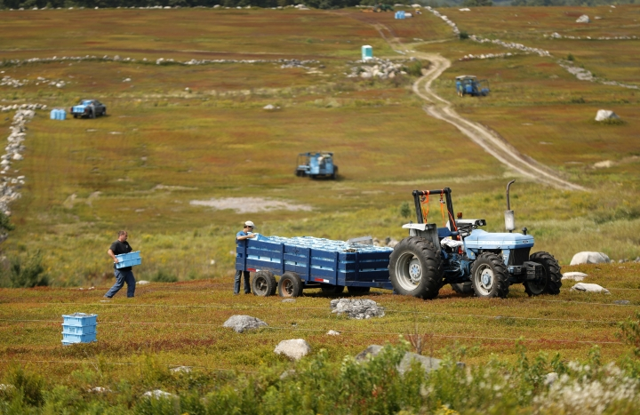 """In this Friday, Aug. 24, 2018, photo, Ken Cox carries trays of wild blueberries to a tractor at a farm in Union, Maine. The blueberries grow wild, as the name implies, in fields called """"blueberry barrens"""" that stretch to the horizon in Maine's rural Down East region and parts of the midcoast area. (AP Photo/Robert F. Bukaty)"""