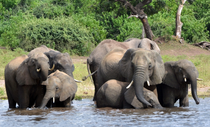 FILE - In this March 3, 2013 file photo elephants drink water in the Chobe National Park in Botswana. A conservation group says elephant poaching has increased in Botswana, which has long been viewed as a rare refuge for elephants in Africa. (AP Photo/Charmaine Noronha, File)