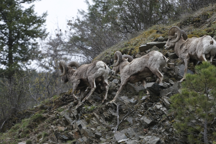FILE - In this April 12, 2016 file photo, bighorn sheep run along a steep mountainside outside Missoula, Mont. A study published in the journal Science on Thursday, Sept. 6, 2018 shows that animals learn from experienced members of the herd about where to find the best forage, building sort of a cultural know-how that's passed through generations and builds up slowly over the course of decades. (AP Photo/Brennan Linsley, File)