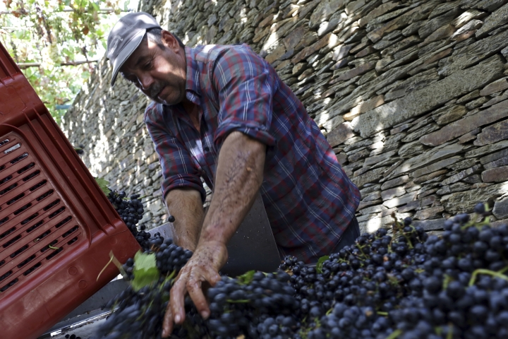 In this photo taken Sept. 12, 2018, a worker sorts grapes picked at the Quinta da Gricha vineyard in the Douro river valley near Ervedosa do Douro, northern Portugal. The scorching late summer sun of northern Portugal is ripening the black, super-sweet grapes that will go to make what European Union rules say is the only wine in the world that can be called port. But port wine's second-largest export market is the United Kingdom, and the impending British exit from the EU is throwing port's almost 50 million euros' ($58 million) worth of annual business there into doubt. (AP Photo/Armando Franca)