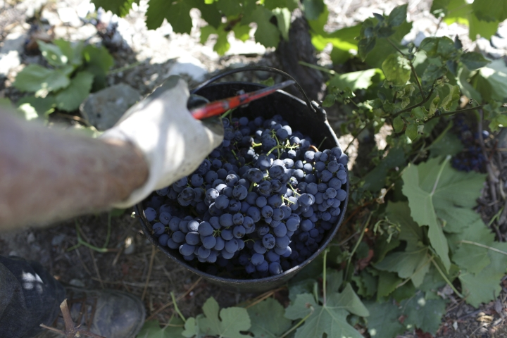 In this photo taken Sept. 12, 2018, a worker lifts a bucket full of grapes picked on the slopes above the Tavora river where it meets the Douro river near Tabuaco, northern Portugal. The scorching late summer sun of northern Portugal is ripening the black, super-sweet grapes that will go to make what European Union rules say is the only wine in the world that can be called port. But port wine's second-largest export market is the United Kingdom, and the impending British exit from the EU is throwing port's almost 50 million euros' ($58 million) worth of annual business there into doubt. (AP Photo/Armando Franca)