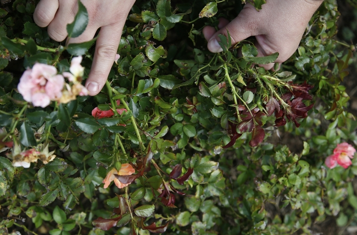 Jen Olson, with the Plant Disease and Insect Diagnostic Laboratory at Oklahoma State University shows rose bush with a normal stem, left, and a stem infected with rose rosette virus, at a research plot in Perkins, Okla., Tuesday, Sept. 11, 2018. (AP Photo/Sue Ogrocki)