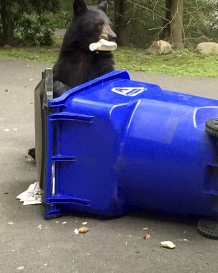 In this Aug. 2018 photo provided by Tom Bradley, a bear eats from a garbage can outside the Bradley family home, in Canton, Conn. Connecticut reports that human encounters with bears are on the rise. A wildlife biologist with the state Department of Energy and Environmental Protection says there have been about two dozen reports this year of bears breaking into Connecticut homes and businesses, about four times the yearly average. (Tom Bradley via AP)