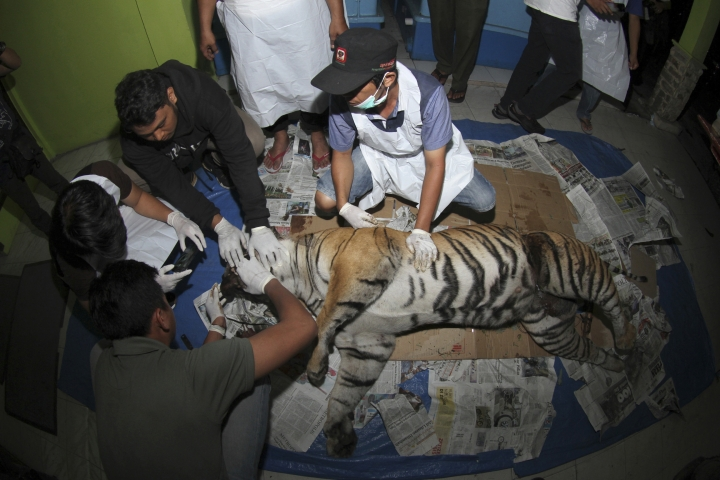 In this Wednesday, Sept. 26, 2018, photo, veterinarians examine the carcass of a pregnant Sumatran tiger found dead after being caught in a pig trap, at the local Natural Resources Conservation Agency office in Pekanbaru, Riau province, Indonesia. The tiger was reportedly trapped earlier this week but managed to escape and was found dead on Wednesday with part of the snare still wrapped around its waist. It was pregnant with two cubs. (AP Photo/Rafka Majjid)
