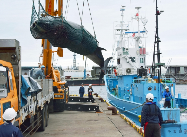 In this Sept. 5, 2016, photo, a minke whale is hauled ashore at Kushiro port, Hokkaido, as Japan began its seasonal hunting of minke whales for research purposes. Japan's senior fisheries negotiator of Fisheries Agency and Alternate Commissioner to the International Whaling Commission (IWC) said Thursday, Sept. 27, 2018, that if Japan gives up to achieve sustainable use of whales, the country could face serious difficulties in the future like food security, after members of the IWC defeated a Japanese proposal to reinstate commercial whaling at a meeting in Brazil earlier this month. (Kyodo News via AP)