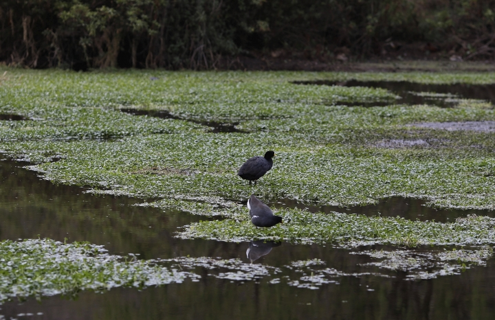 In this Aug. 4, 2018 photo, birds stand on water plants of a lagoon at an public wetland in Cuzco, Peru. Some 58 bird species build their nests at this wetland, including the yellow-crowned night heron, one of many that migrate from the southeastern United States. (AP Photo/Martin Mejia)