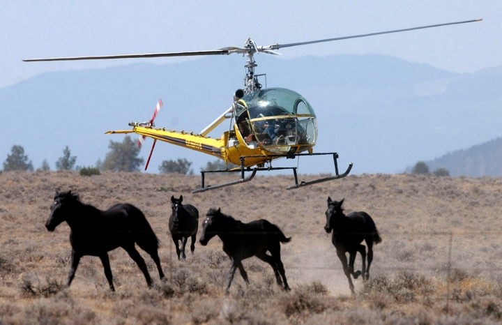 FILE--In this Aug. 19, 2004 file photo, a helicopter herds a group of wild horses toward a large V-shaped trap at Devils Garden at the Modoc National Forest, Calif. The U.S. Forest Service is set to round up 1,000 wild horses and says that many of them could be sold to distant slaughterhouses. (AP Photo/Rich Pedroncelli, File)
