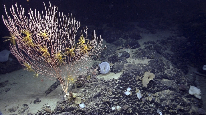 FILE - This 2013 file photo released by the National Oceanic and Atmospheric Administration made during the Northeast U.S. Canyons Expedition, shows corals on Mytilus Seamount off the coast of New England in the North Atlantic Ocean. A federal judge tossed a lawsuit Friday, Oct. 5, 2018, from a group of fishing associations that challenged the creation of an underwater monument in the Atlantic Ocean. The monument is a 5,000-square-mile area that contains fragile deep sea corals and vulnerable species of marine life, such as right whales. (NOAA Office of Ocean Exploration and Research via AP, File)