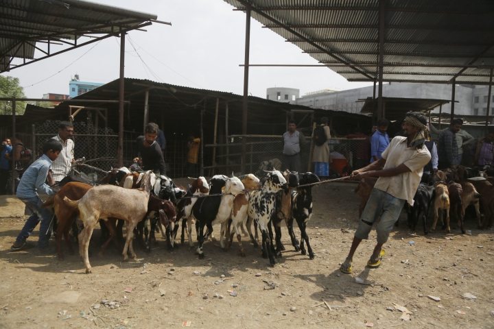 In this Thursday Oct. 11, 2018 photo, a Nepalese man pulls goats at a livestock market in Kathmandu, Nepal. During the 15-day Dasain festival that began this week in the Himalayan country, families fly kites, host feasts and visit temples, where tens of thousands of goats, buffaloes, chickens and ducks are sacrificed to please the gods and goddesses as part of a practice that dates back centuries. Animal rights groups are hoping to stop _or at least reduce_ the slaughter, using this year's campaign as a practice run to combat a much larger animal sacrifice set for next year at the quinquennial Gadhimai festival. (AP Photo/Niranjan Shrestha)