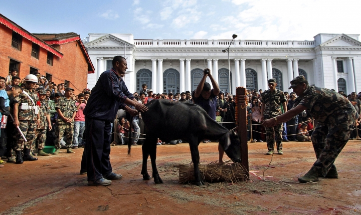 In this Oct. 5, 2011 file photo, Hindu devotees watch a buffalo being butchered outside Taleju temple, open to public only once a year, during Dasain festival in Katmandu, Nepal. During the 15-day Dasain festival that began Oct. 10, 2018, in the Himalayan country, families fly kites, host feasts and visit temples, where tens of thousands of goats, buffaloes, chickens and ducks are sacrificed to please the gods and goddesses as part of a practice that dates back centuries. Animal rights groups are hoping to stop _or at least reduce_ the slaughter, using this year's campaign as a practice run to combat a much larger animal sacrifice set for next year at the quinquennial Gadhimai festival. (AP Photo/Niranjan Shrestha)
