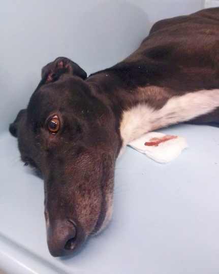 This 2018 photo provided by the animal rights group People for the Ethical Treatment of Animals shows a greyhound after having blood taken at Hemopet canine blood bank in Garden Grove, Calif. PETA has filed a complaint alleging mistreatment of dogs at Hemopet, one of the nation's largest canine blood banks, a claim the nonprofit organization that runs the Southern California facility for retired racing greyhounds adamantly rejects. Hemopet said the dogs are well-cared for and provide a vital service that saves pets' lives. (PETA via AP)