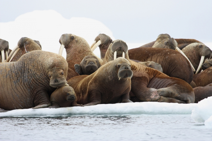 FILE - In this July 17, 2012, file photo, adult female Pacific walruses rest on an ice flow with young walruses in the Eastern Chukchi Sea, Alaska. A lawsuit making its way through federal court in Alaska will decide whether Pacific walruses should be listed as a threatened species, giving them additional protections. Walruses use sea ice for giving birth, nursing and resting between dives for food but the amount of ice over several decades has steadily declined due to climate warming. (S.A. Sonsthagen/U.S. Geological Survey via AP, File)