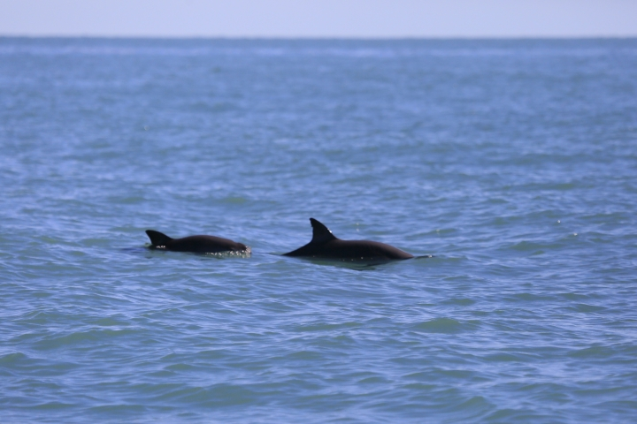 In this Sept. 2018 handout photo released by El Museo de la Ballena y Ciencias del Mar, a pair of critically endangered vaquita porpoises swim in the Gulf of California. Experts called on Mexico to use floating barriers to enclose a small area of the Gulf of California where a half dozen vaquitas were sighted in September. (Oscar Ortiz/Museo de la Ballena y Ciencias del Mar via AP)