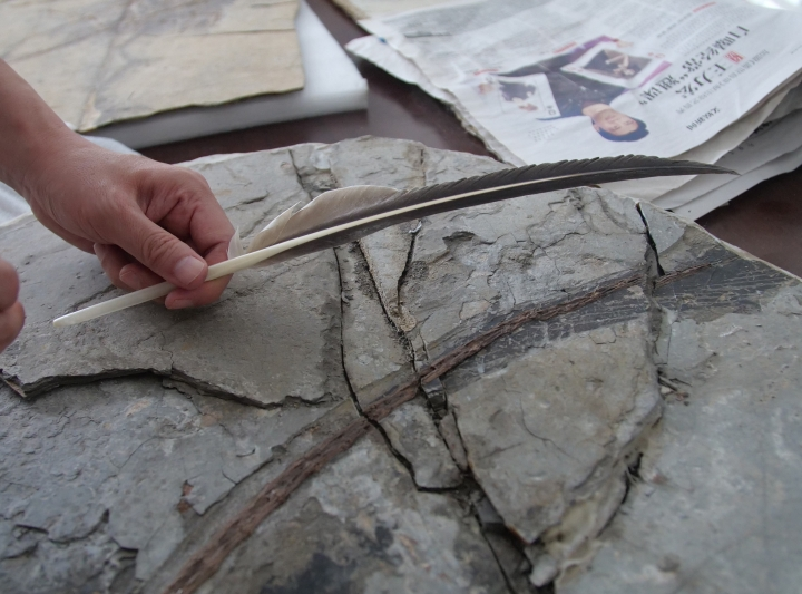In this Oct. 1, 2018, photo, paleontologist Xu Xing holds in his Beijing office a modern bird feather above a dinosaur fossil to show the evolutionary theory linking the two animals. China's rapid city building has churned up a motherlode of new dinosaur fossils, and no one has seized the scientific opportunity more than one paleontologist. (AP Photo/Sam McNeil)
