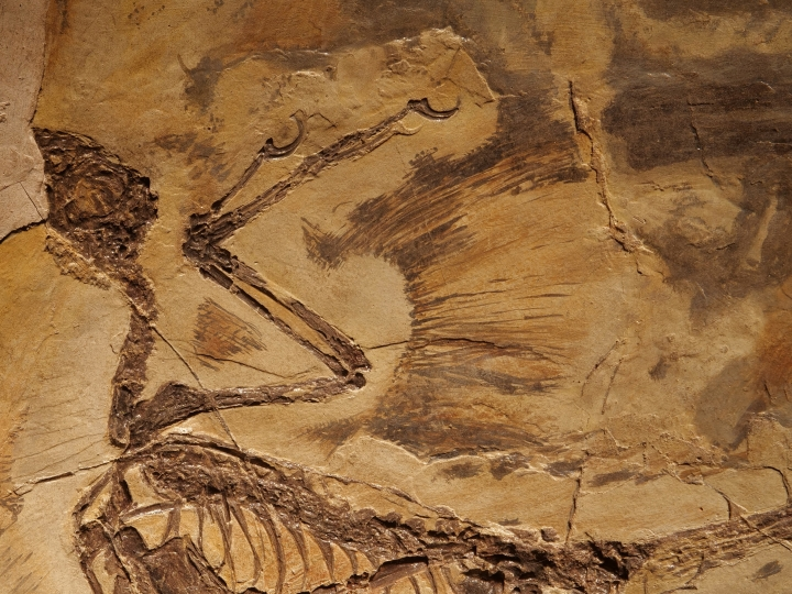 This Oct. 1, 2018, photo shows a casting of a microraptor in the office of Chinese paleontologist Xu Xing in Beijing. China's rapid city building has churned up a motherlode of new dinosaur fossils, and no one has seized the scientific opportunity more than one paleontologist. (AP Photo/Sam McNeil)