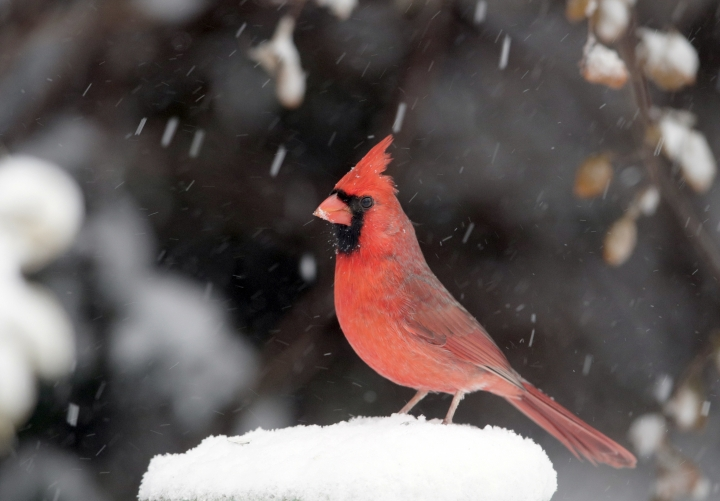 A cardinal stands on a snow-covered perch in Lawrence, Kan., Sunday, Nov. 25, 2018. A snowstorm had the area in a blizzard warning for several hours. (AP Photo/Orlin Wagner)