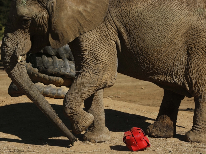 FILE -- In this Tuesday, June 19, 2018, file photo Lammie, an elephant at the Johannesburg Zoo, kicks around a ball made of plastic hose piping. When the last African elephant at the Johannesburg Zoo lost her male companion to illness in September, some people said 39-year-old Lammie should be sent to a bigger sanctuary so she wouldn't spend her final years alone. The zoo now says Lammie is staying, and that a search for a new mate is underway. (AP Photo/Denis Farrell, File)