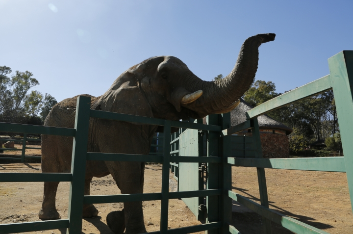 In this Tuesday, June 19, 2018, photo Lammie, in her enclosure at the Johannesburg Zoo. When the last African elephant at the Johannesburg Zoo lost her male companion to illness in September, some people said 39-year-old Lammie should be sent to a bigger sanctuary so she wouldn't spend her final years alone. The zoo now says Lammie is staying, and that a search for a new mate is underway. (AP Photo/Denis Farrell)